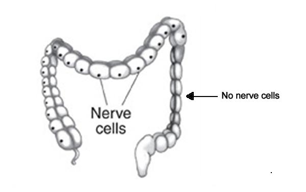 L_Intestine_Nerve_Cell2